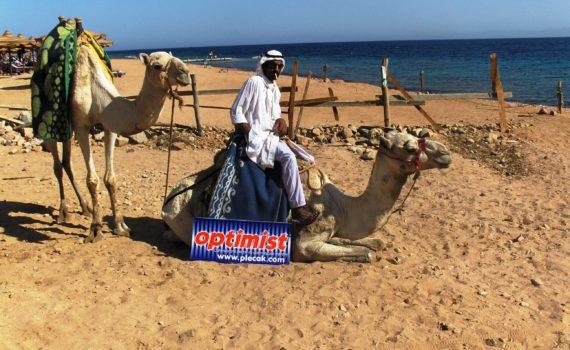 Uroki Dahab wielbłąd optymista