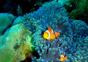 Plethora of clownfish in Tulamben
