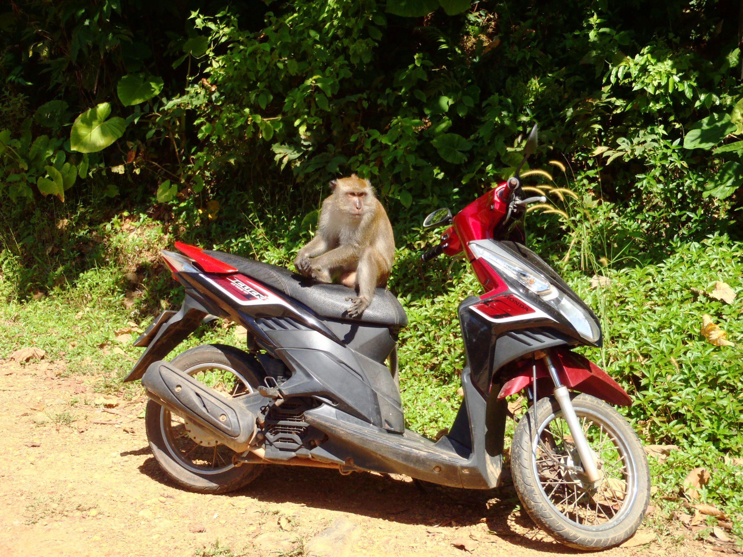 Małpy w Tajlandii
